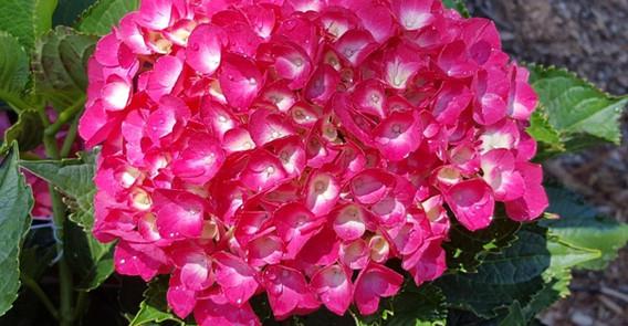 Hydrangea macrophylla.jpg