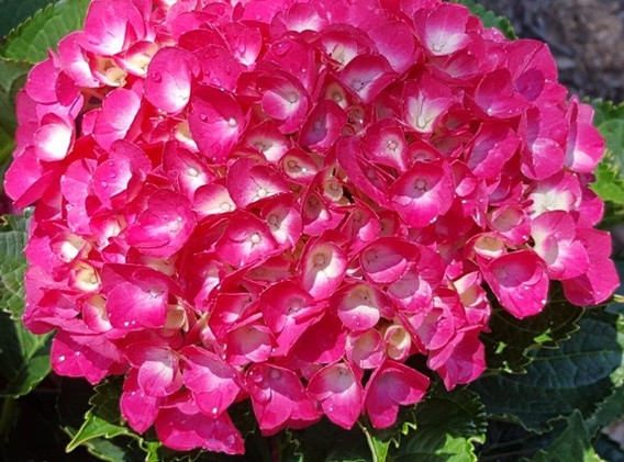 HydrangeaMacrophylla.jpg