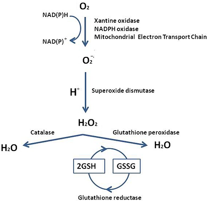 Reactive-oxygen-species-generation-and-t