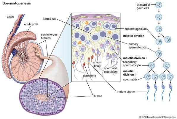 spermatogenesis-human-anatomy.jpg