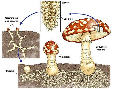 Ciclo de vida do cogumelo.jpg