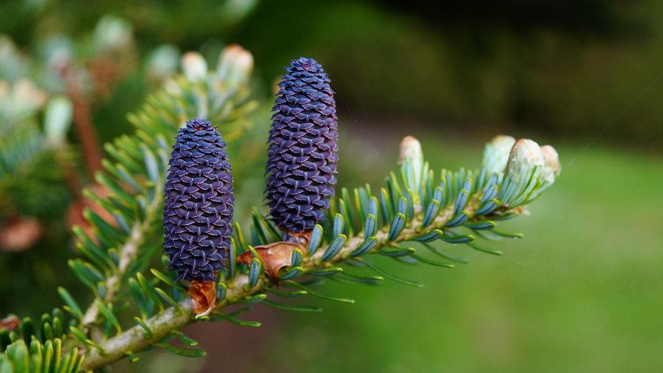 Pine & Cedarwood Diffuser Oils