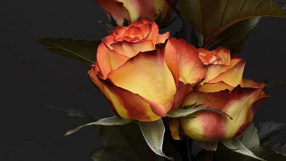 Rose, Jasmine & Geranium Diffuser Oils