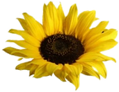 sunflower-150.png