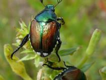 Popillia japonica: scarabeide devastante info utili.