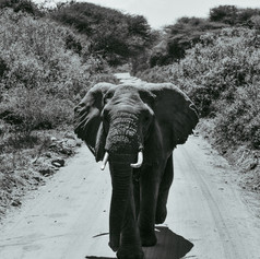 elephant black and white tanzania.jpg