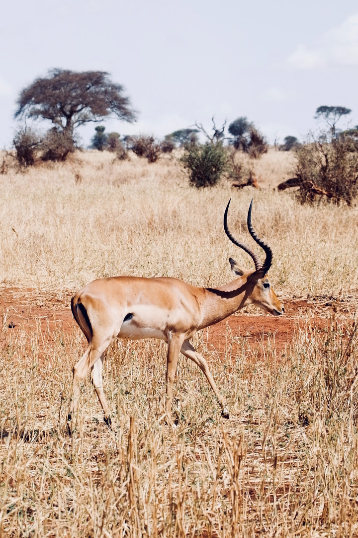 Gazelle safari tanzanie.jpg