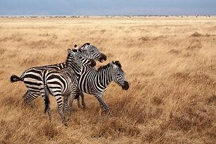 Zèbres Tanzanie.jpg