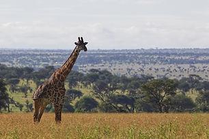 Girafe Tanzanie.jpg