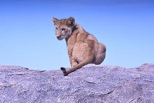 Lionceau Tanzanie.jpg