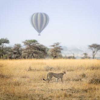 Un guépard dans le Serengeti Tanzanie.jp