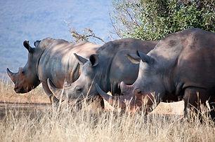 Rhinocéros Tanzanie.jpg