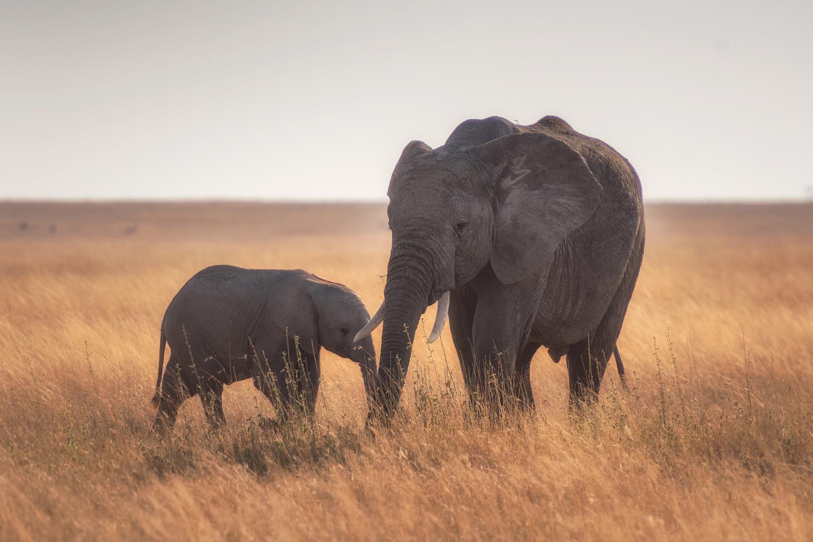 elephants Tanzanie safari.jpg
