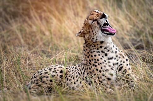 Guépard allongé dans la savane Tanzanie.