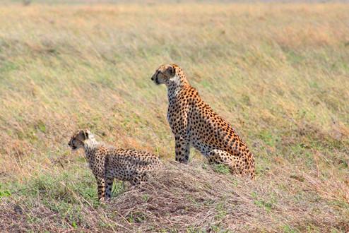 Des guépards dans le Serengeti Tanzanie.