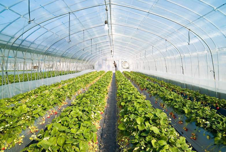 Strawberry_greenhouse.jpg