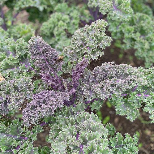 Purple Kale, bunch