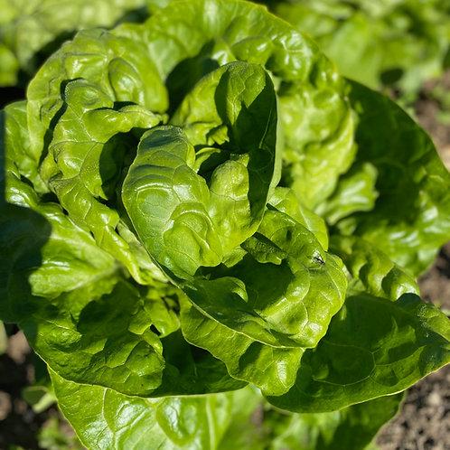 Butterhead Lettuce, each