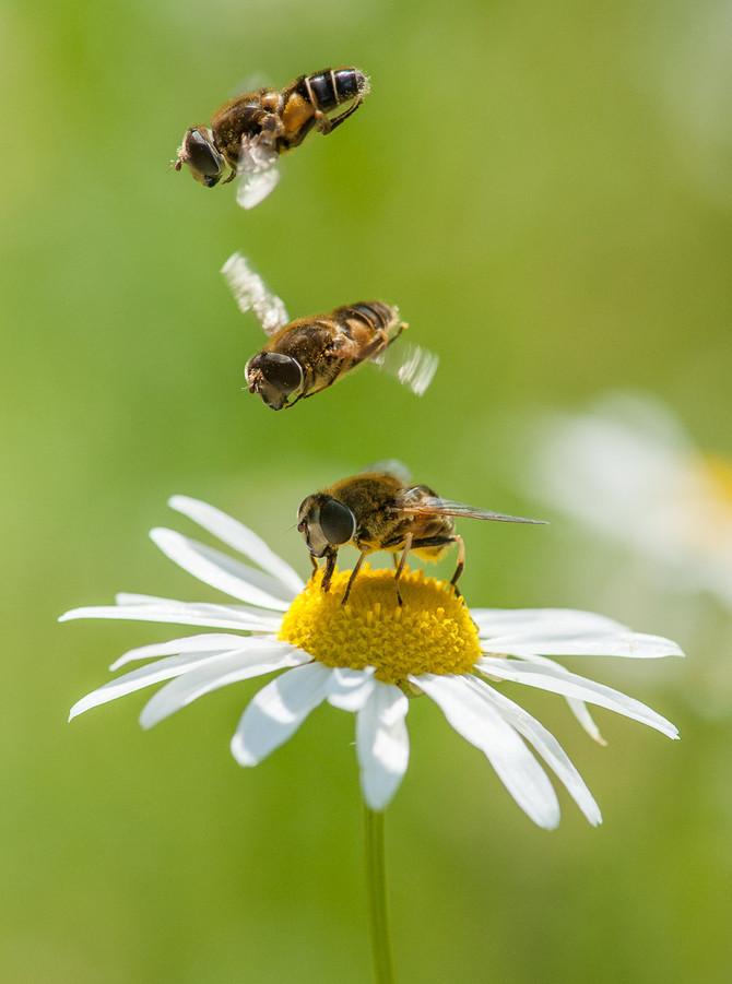 Kesä on kukkien ja kärpästen aikaa