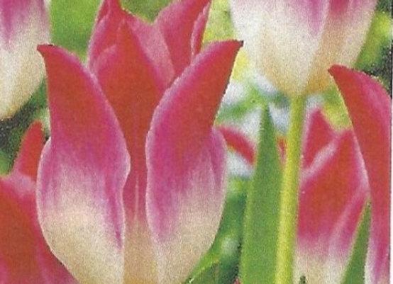 Whispering Dream Tulips