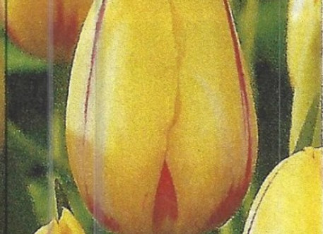 La Courtine Tulips