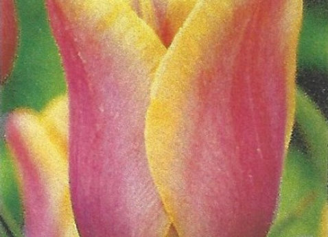 Indian Summer Tulips