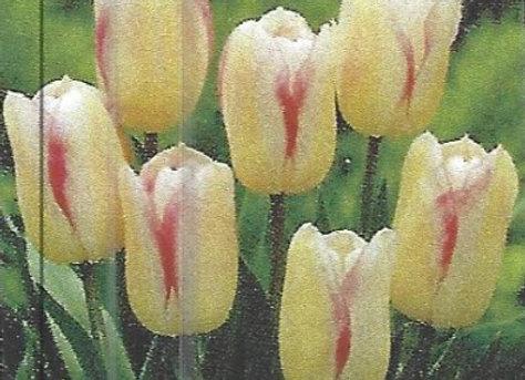 Blushing Girl Tulips