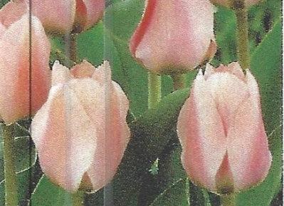 Apricona Tulips