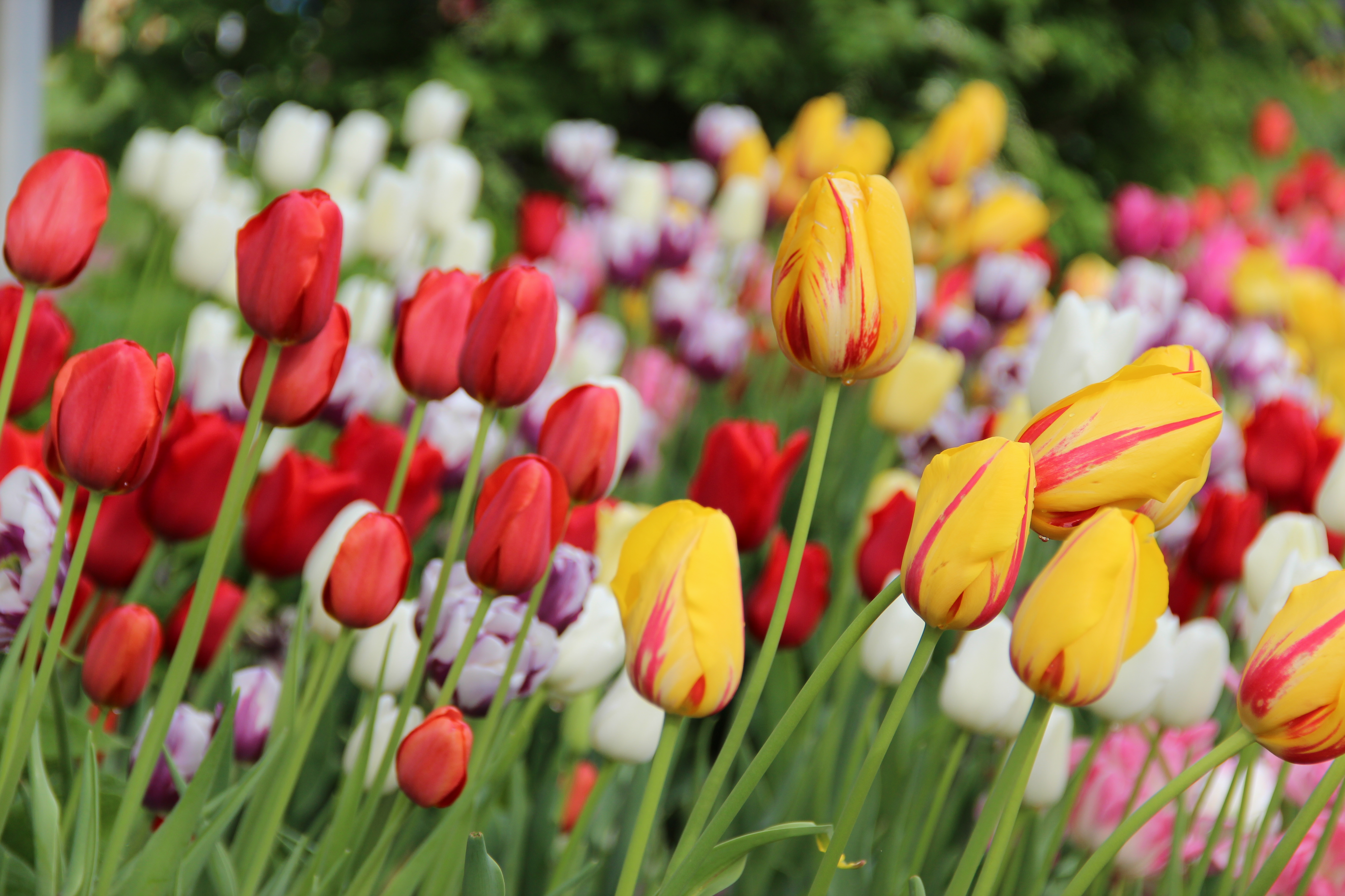 Pastel color tulips (1)
