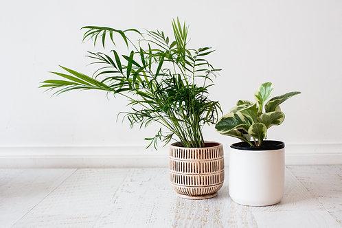 Indoor Plant including Pot
