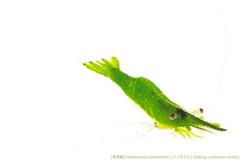 ツノモエビA16 P