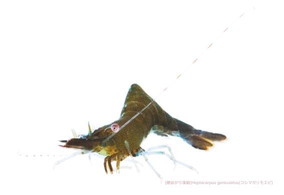 コシマガリモエビB03 P.jpg