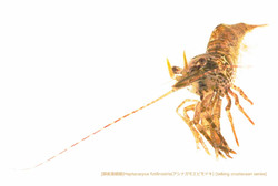 アシナガモエビモドキA17 P