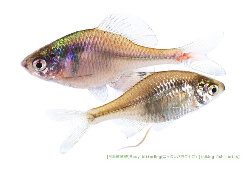 ニッポンバラタナゴc06 P