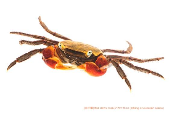 アカテガニA21 P.jpg