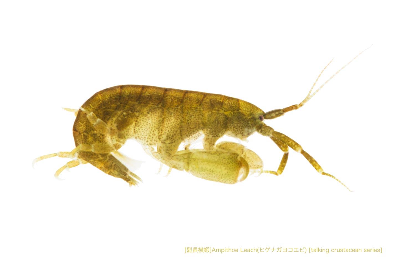 ヒゲナガヨコエビa01 P