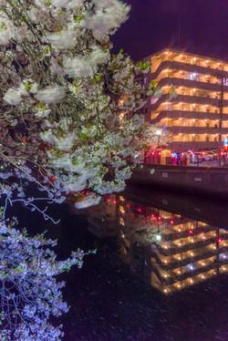170410夜桜14
