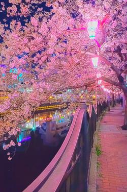 cherry_blossoms_night[Oooka_River]_59.jpg