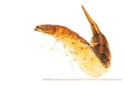 ゲンゴロウ幼虫b37