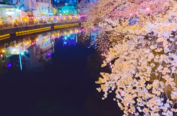 cherry_blossoms_night[Oooka_River]_18.jpg