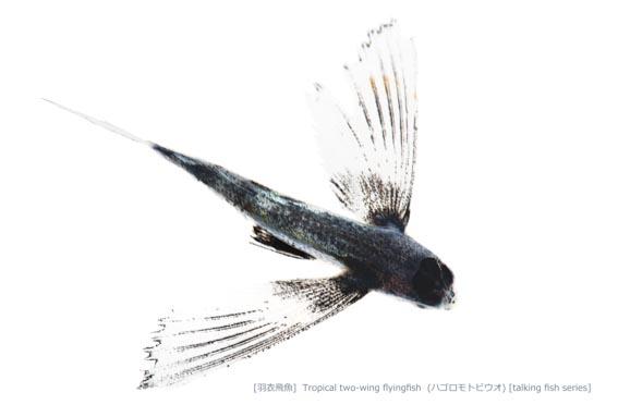 ハゴロモトビウオ02