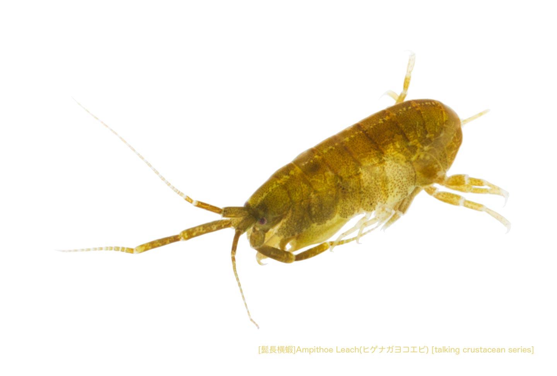 ヒゲナガヨコエビa15 P