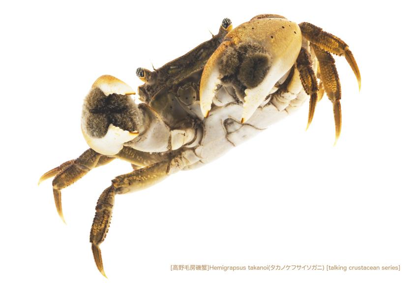タカノケフサイソガニA04 P.jpg