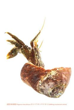 ホシゾラホンヤドカリa18 P