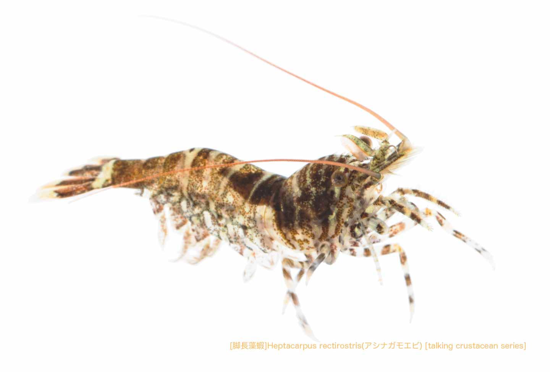 アシナガモエビA04 P