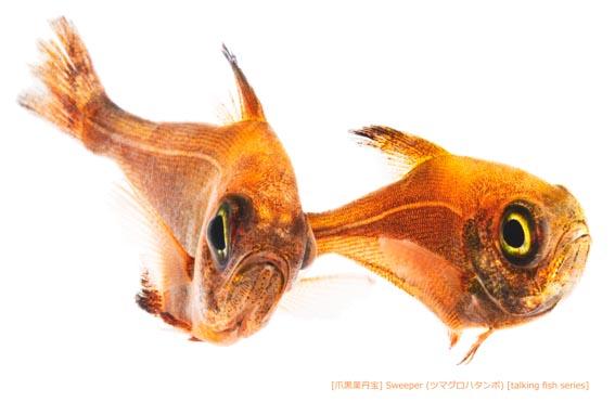 ツマグロハタンポb24 P