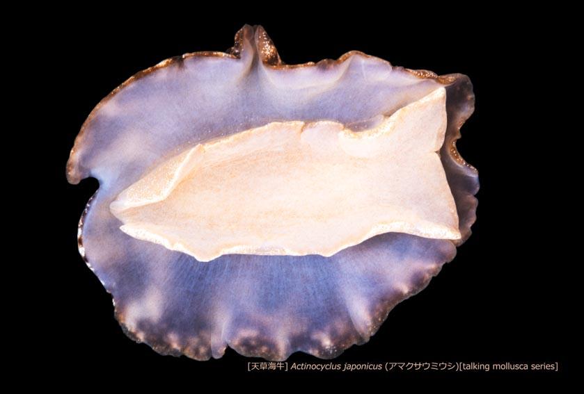 アマクサウミウシ15 P