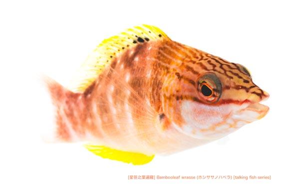 ホシササノハベラB27 P