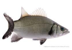 sea-bass0306_P.jpg