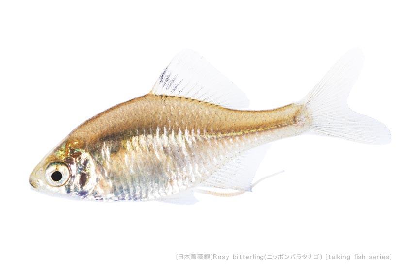 ニッポンバラタナゴb25 P